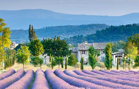 Lavendelfeld des Chateau de l'Aumérade.