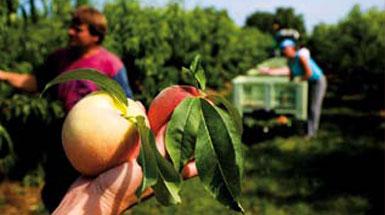 Canella baut die weißen Pfirsiche für ihren Bellini auf eigenen Feldern selbst an.