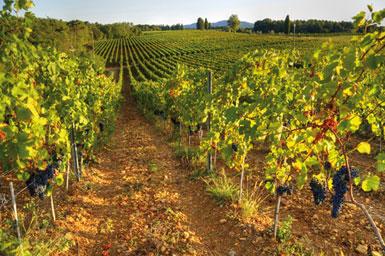 Nur wenige Kilometer von der Küste entfernt, findet man die Weinberge des Weinguts Costa di Nugola