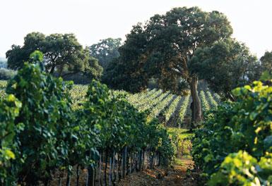 Die Weinreben von Frescobaldi